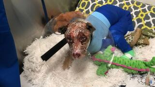 Dog found burned, abandoned in Shelby County showing improvement