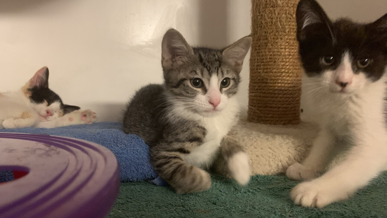 SDHS Kittens Available for Adoption 3.jpg