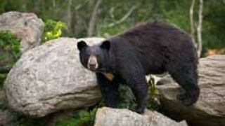 Bear euthanized after multiple conflicts in Big Sky
