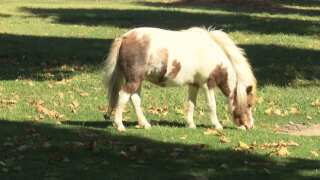 Central Coast Living: Visit miniature horses for free in Solvang