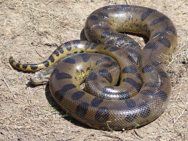 Photo Gallery: 5 largest snake species