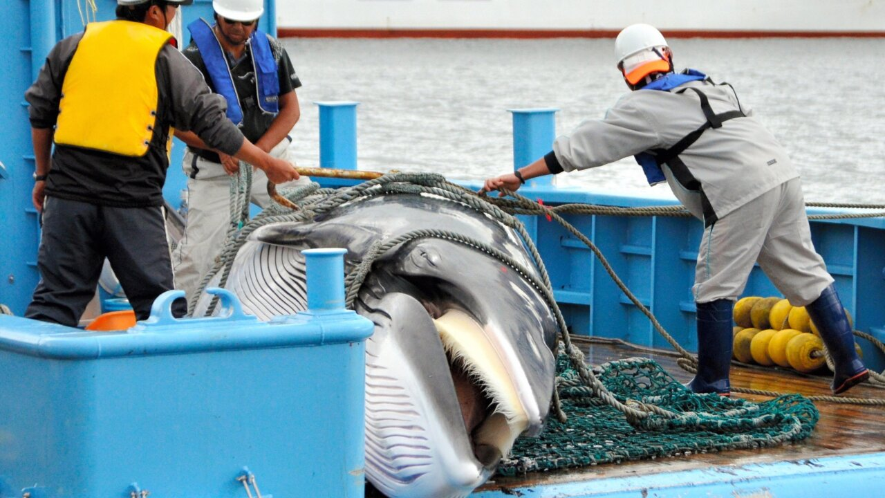 Japan to resume commercial whaling in 2019