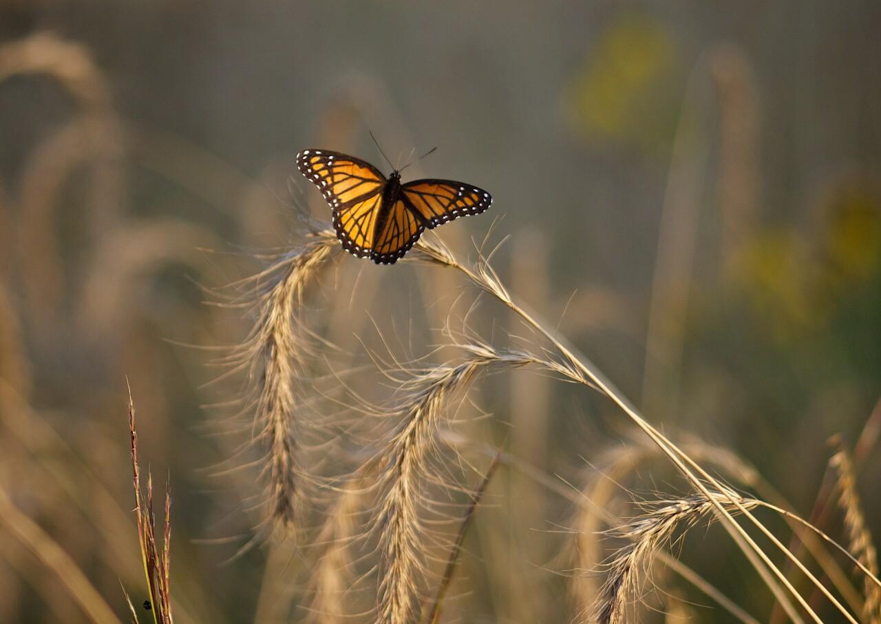 Monarch Fenner Prairie