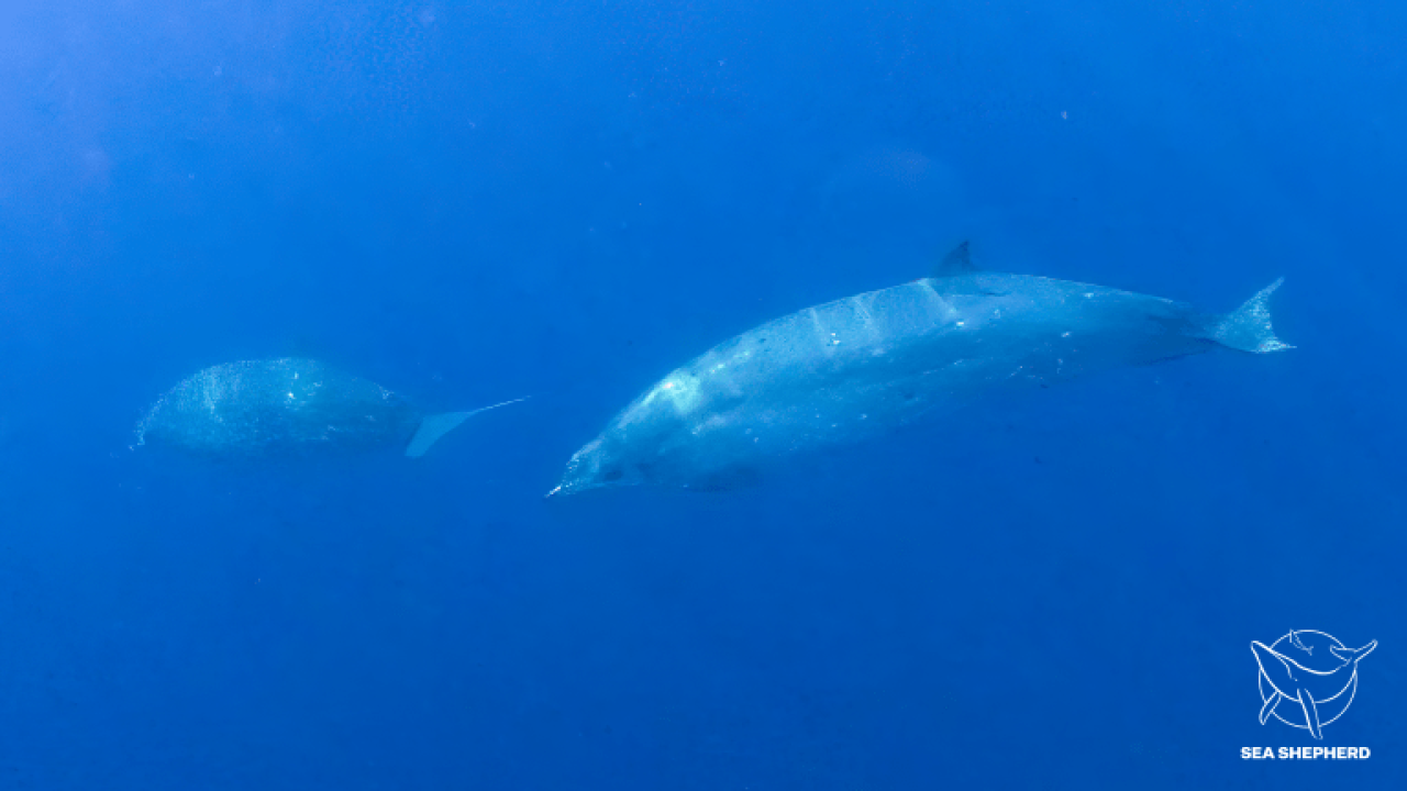 new species beaked whale