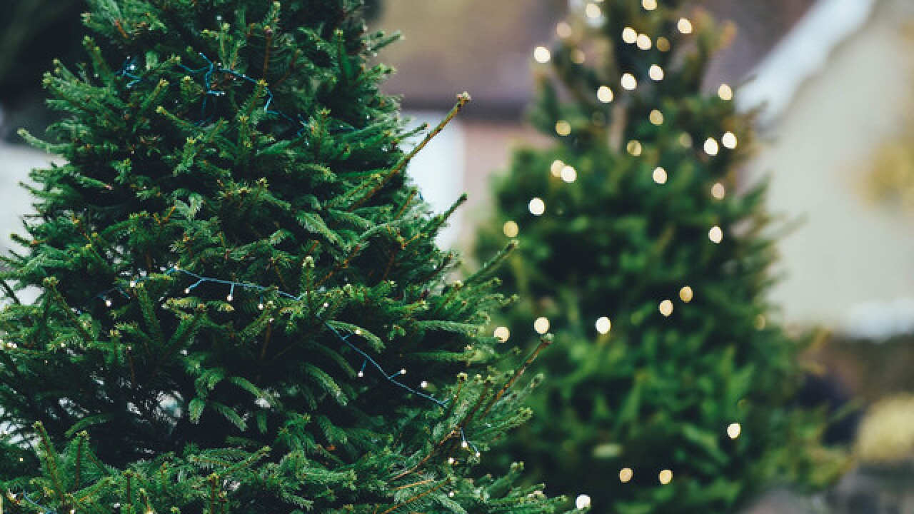 Cut Down Christmas Tree Near Me.Want To Cut Down A Christmas Tree This Year Here S Where