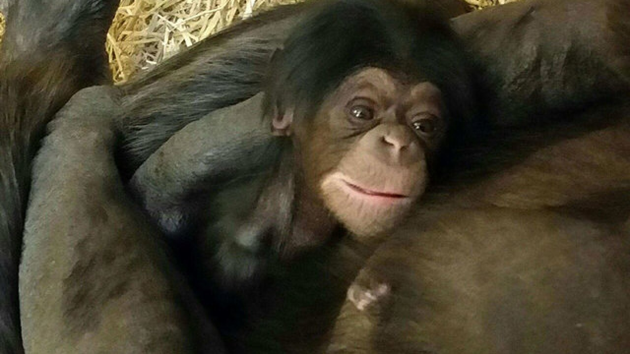 Welcome Gracie, KC Zoo's new baby chimpanzee