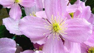pink clematis.jpg