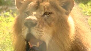 wptv-lion-country-safari-new-lions.jpg