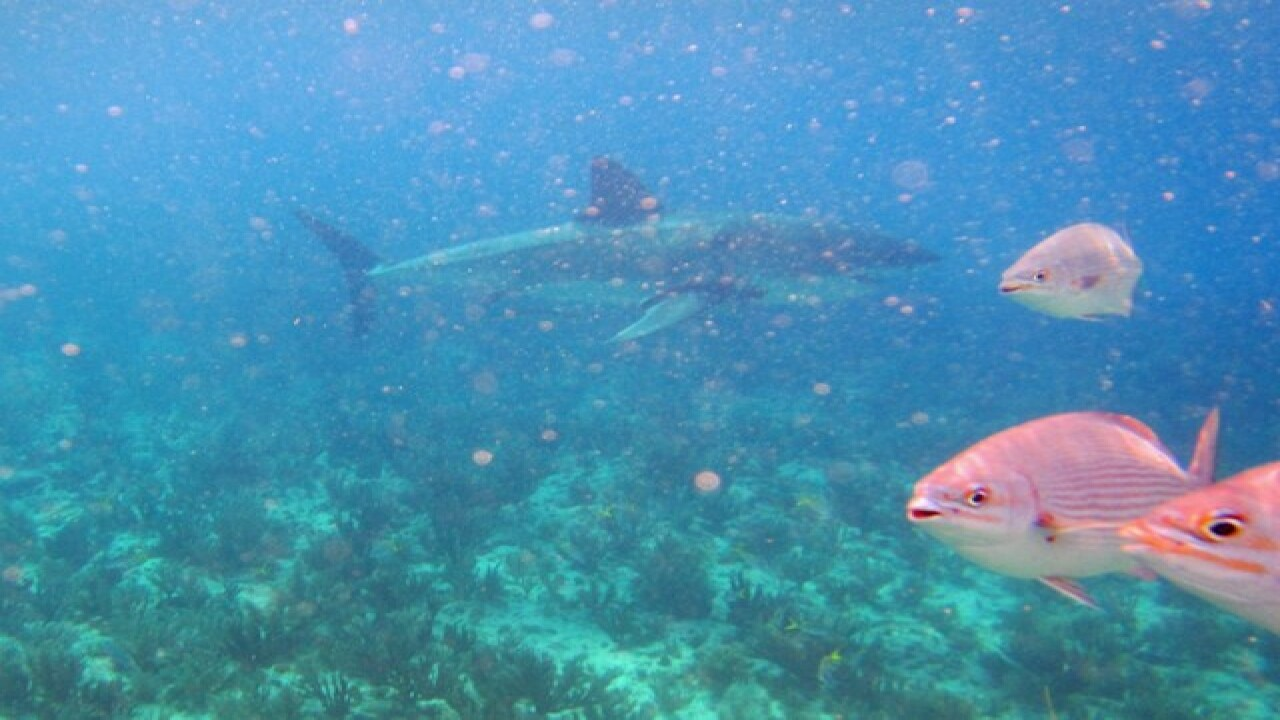 Great white shark spotted in the Keys