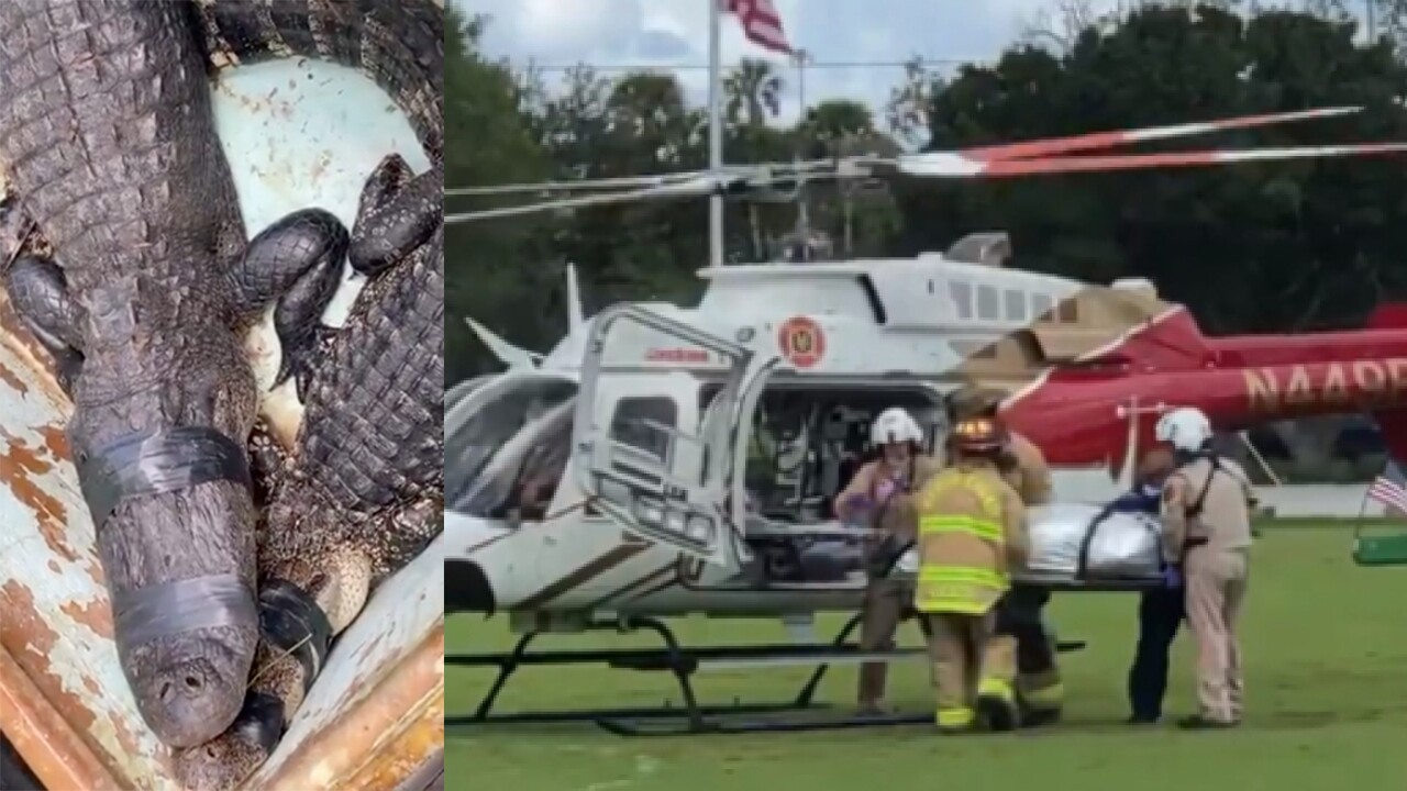 split surface  of alligator believed to person  bitten antheral   astatine  Halpatiokee Regional Park successful  Stuart captured and unfortunate  being loaded onto helicopter