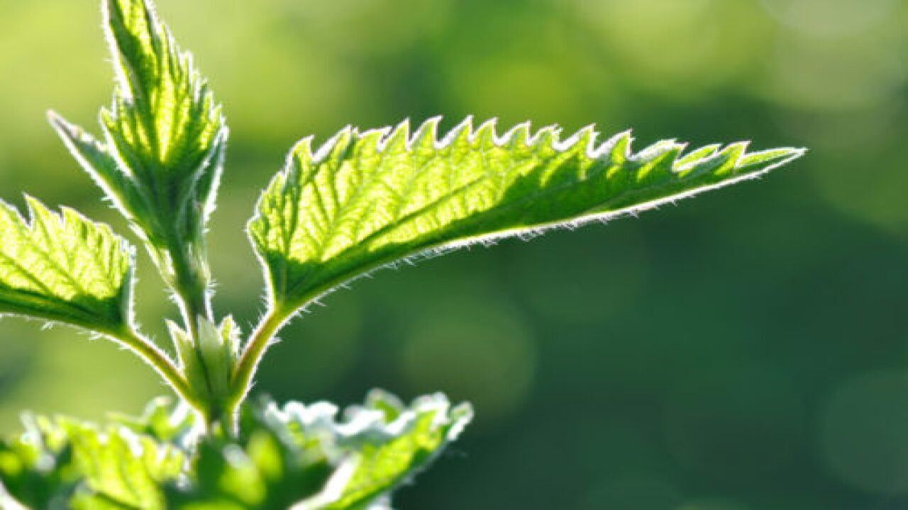 6 Plants That Can Give You A Rash (besides Poison Ivy And Poison Oak)