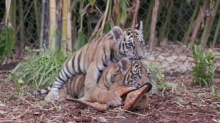 San Diego Zoo Safari Park gives fans chance to name tiger cubs