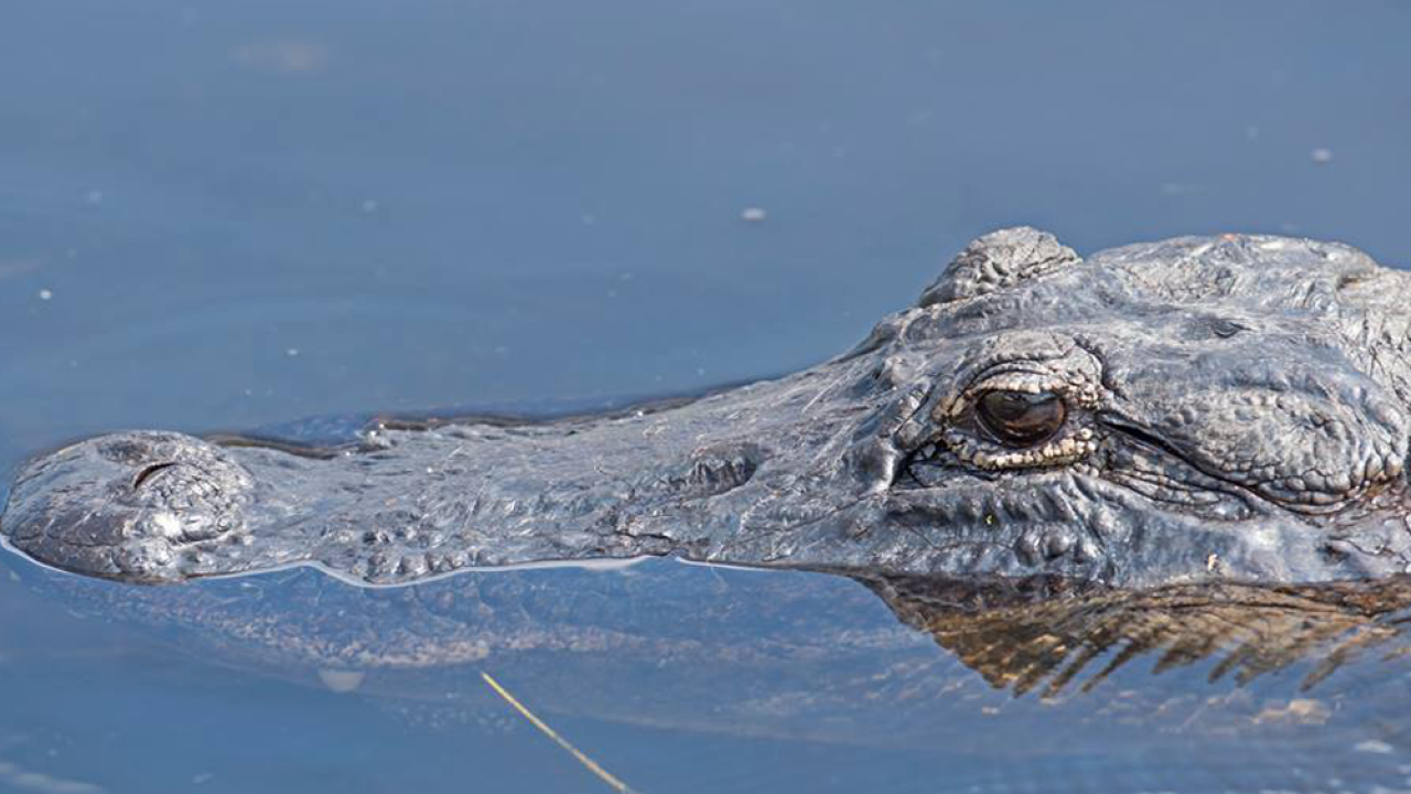 Alligator mating season is here, and this is what you need to know