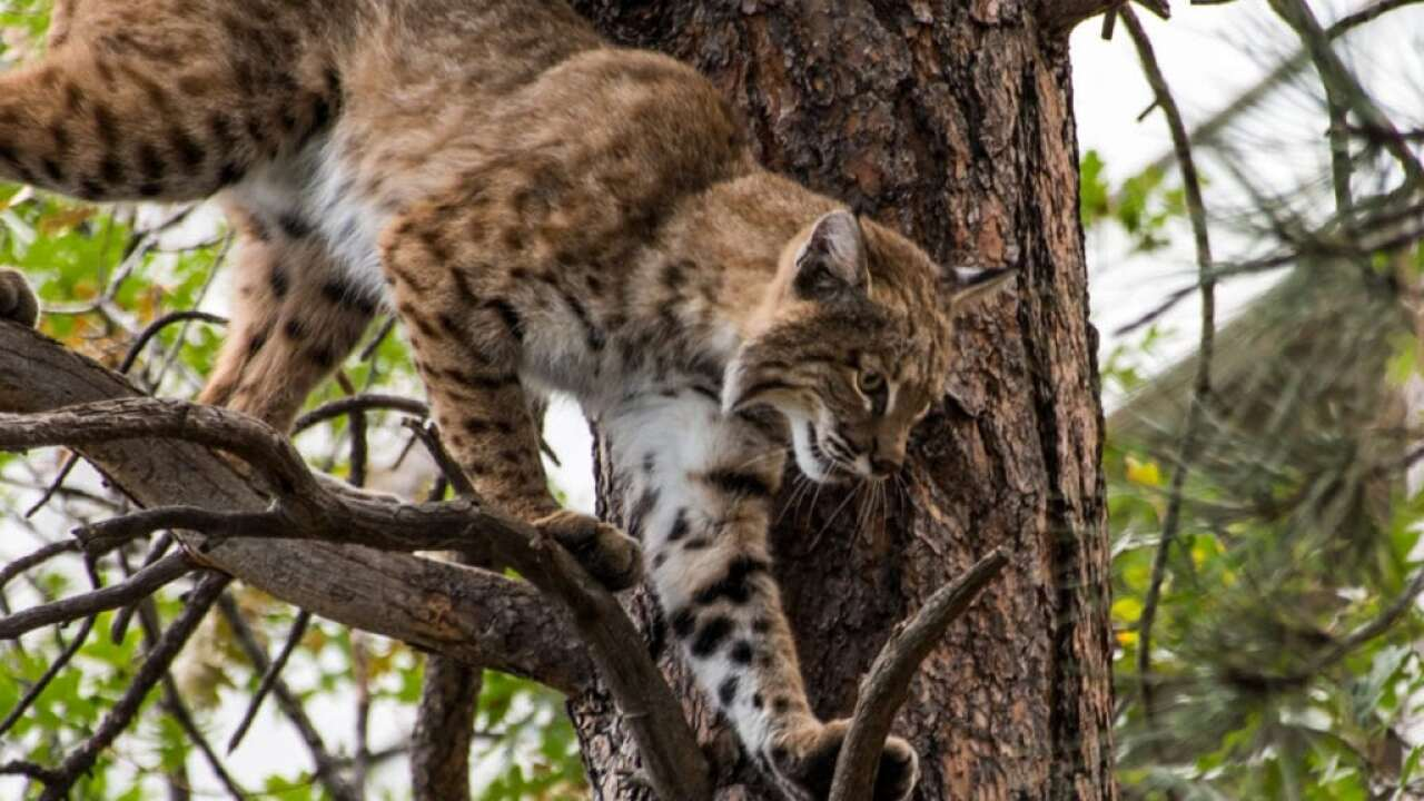 US wildlife biologist pleads guilty to selling bobcat pelts