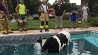 Cow decides to take dip in Wisconsin pool