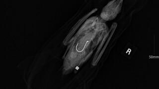 royal tern .jpg