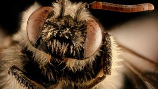 Rare bee in Wisconsin