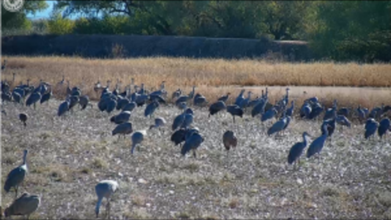 Wildlife camera brings cranes roosting in Arizona into view