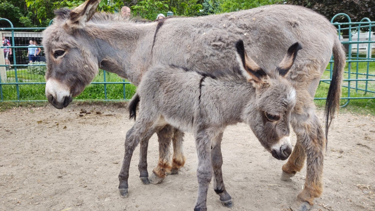ZooMontana also recently added a newborn miniature donkey to their family