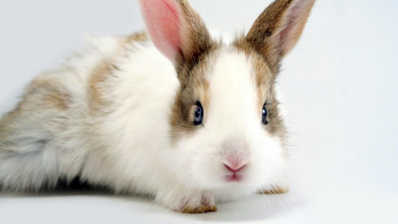 Generic rabbit, bunny