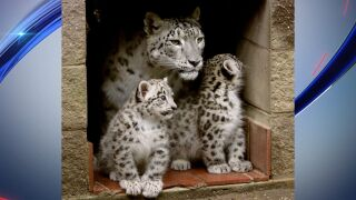 snow leopard cubs and mother