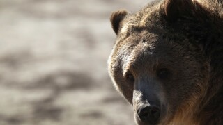 Mesa County fair to continue with bear act despite protests