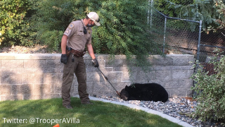 Black bear wandering around Helena was captured and will be relocated