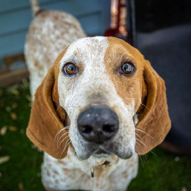 Monroe_Coonhound mix.jpg
