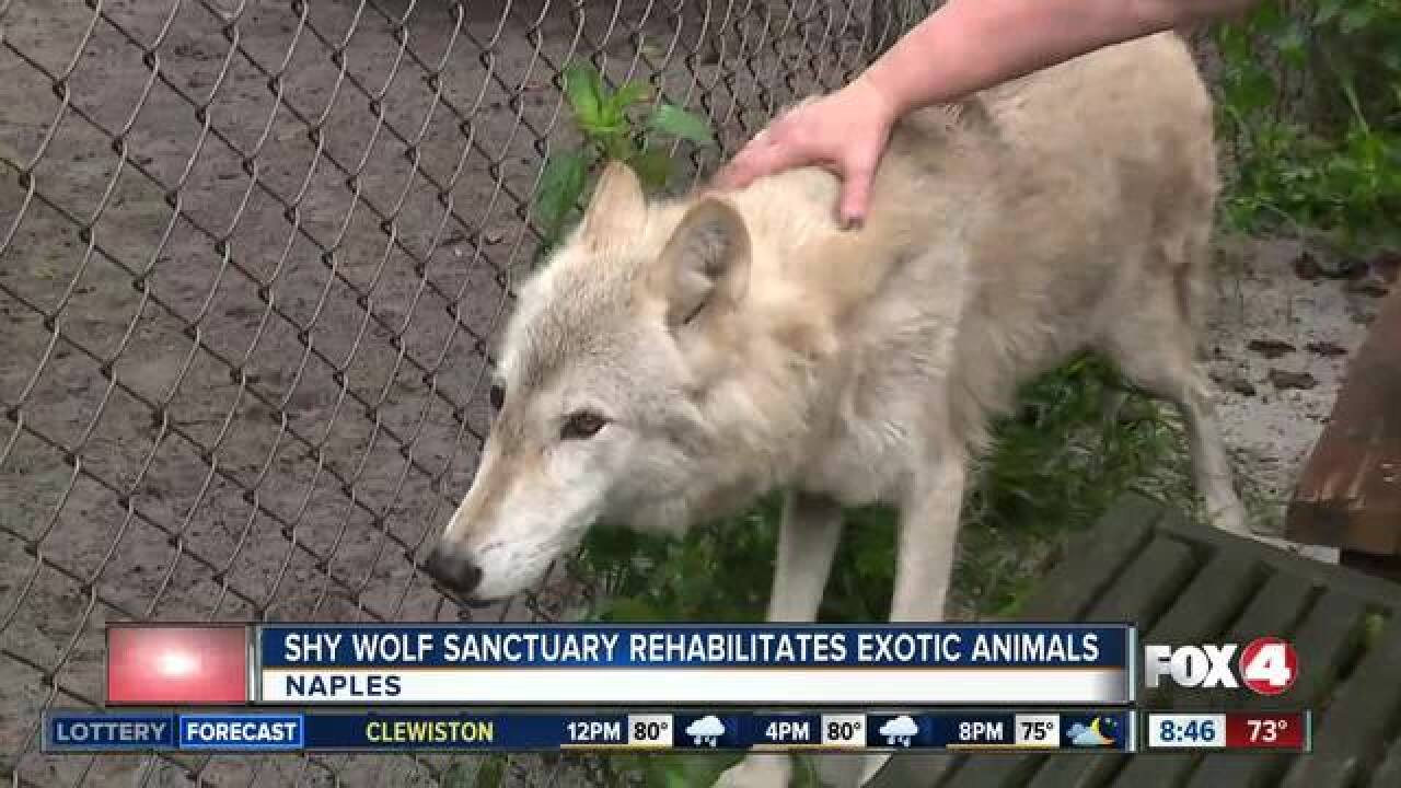 Shy Wolf Sanctuary rescues wild, exotic animals