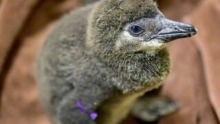Help the Maryland Zoo pick a theme for naming penguin chicks
