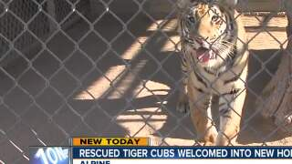 Rescued tiger cub welcomed into new home
