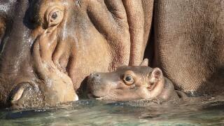 Hippo Calf born at San Diego Zoo