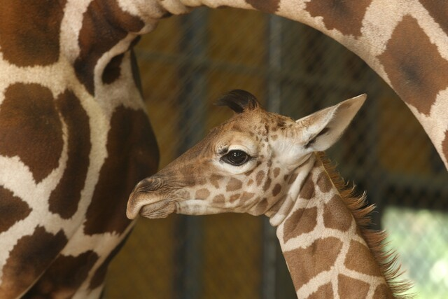 Photos: Baby giraffes around the world