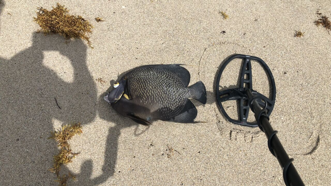 Beachgoers have noticed lots of dead fish washing ashore on South Florida beaches over the last several days.