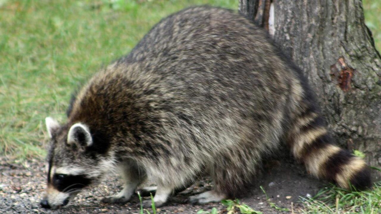 Raccoon tests positive for rabies in Newport News