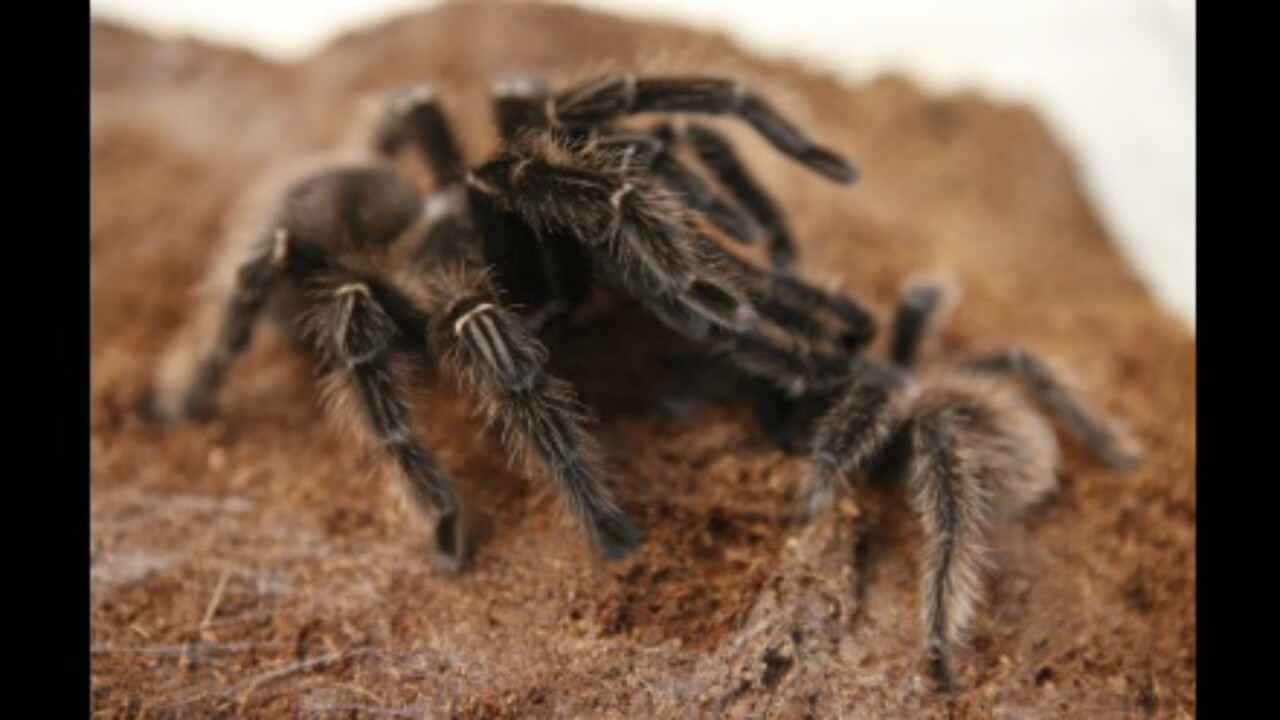 Thousands of tarantulas to descend on southeast Colorado in search of mates