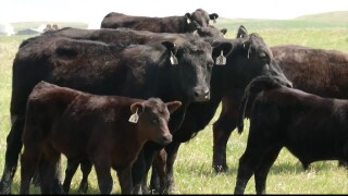 Montana Ag Network: Ranchers want alternative proteins properly regulated