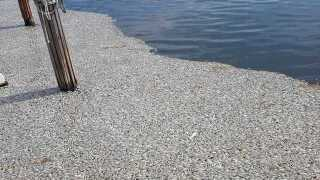 Photos: Dead fish accumulating in Naples