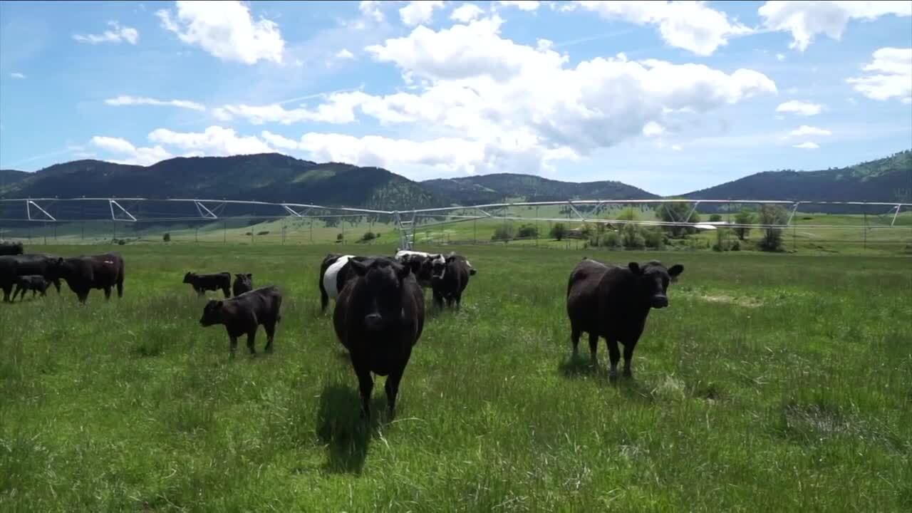 Dixon Cows