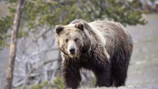 Grizzly advisory council working on habitat and hunting for final recommendations