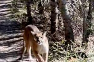 WATCH: Man stalked by cougar while on Big Cottonwood Canyon hike