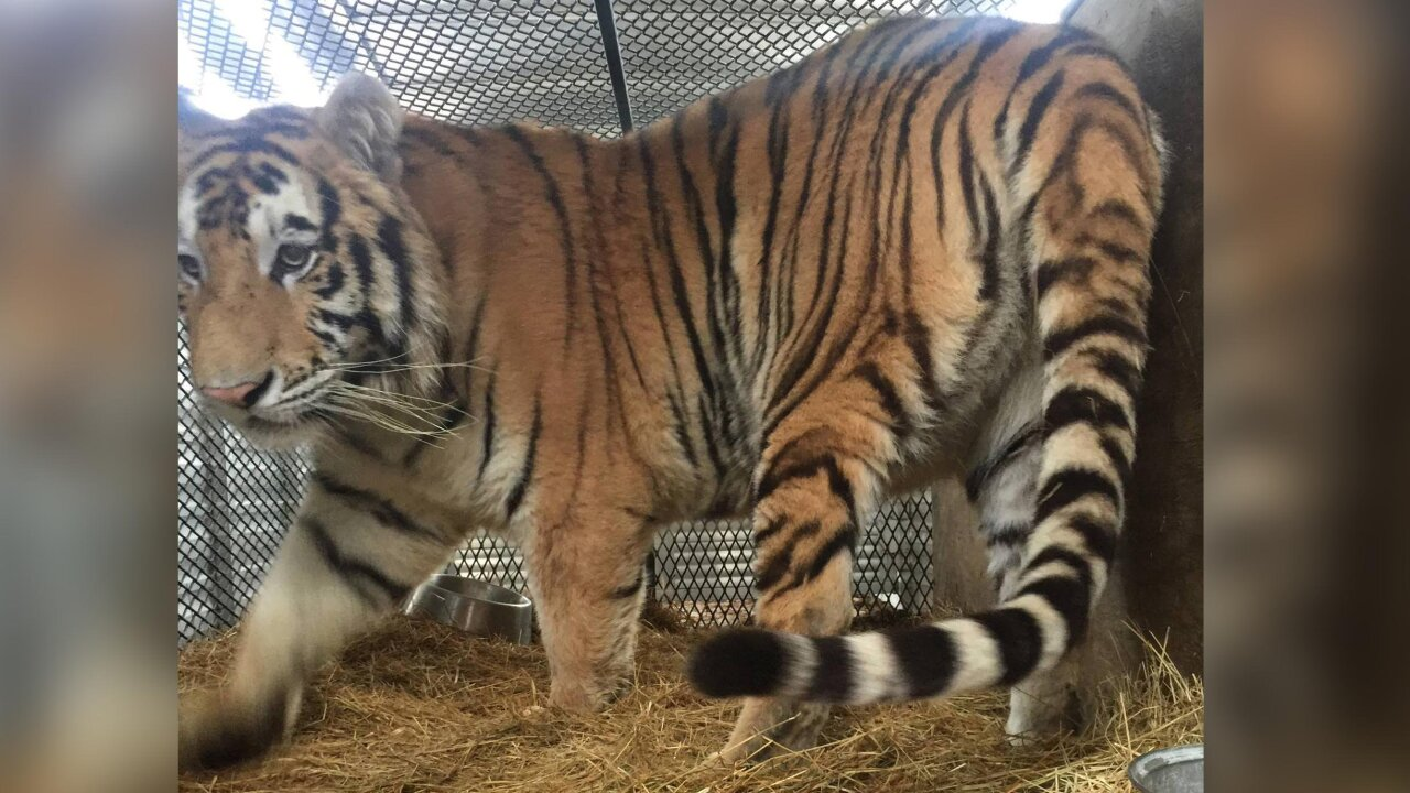 Tiger discovered in abandoned house by someone who went to smoke weed finds new home