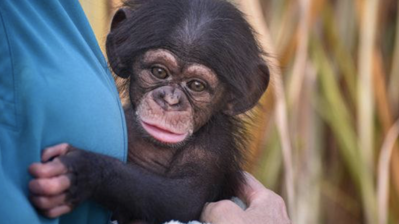 Baby chimp from Oklahoma moves to Maryland Zoo to meet surrogate mother