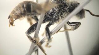 Cuckoo Bee.jpg