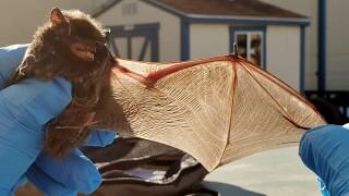 Bat rescue CPW