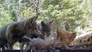 Gray Wolves-Endangered