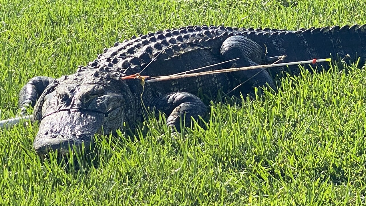 A large alligator was found with two arrows in its side in Lee County, Florida.