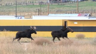 Moose family livens things up in Butte