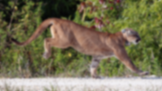 FLORIDA-PANTHER-GETTY-GENERIC.png