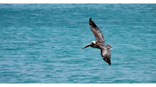 pelican-generic.jpg